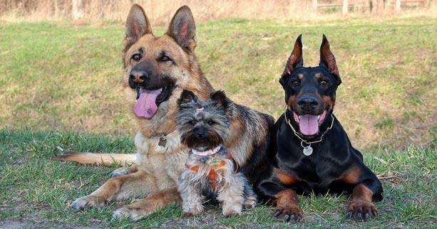 Doberman Pinscher and German Shepherd as Guard Dogs